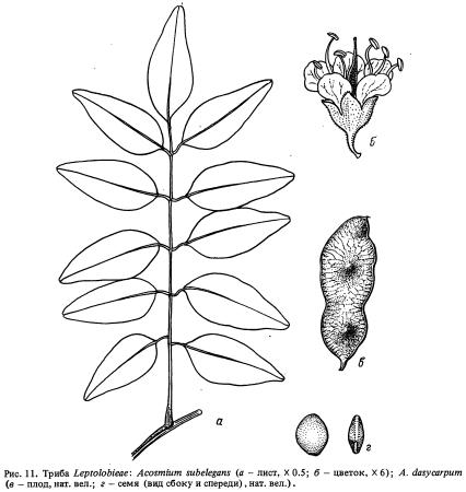 Триба Leptolobieae (часть 2)