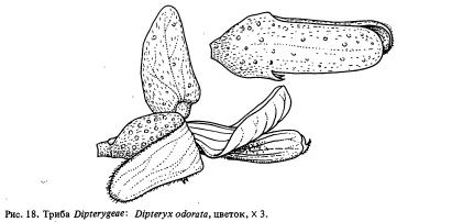 Триба Dipterygeae