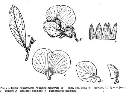Триба Podalyrieae