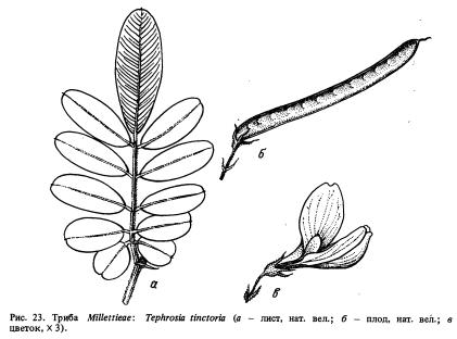 Триба Millettieae (часть 2)
