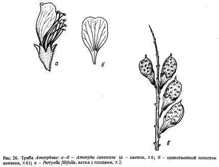 Триба Amorpheae (часть 2)