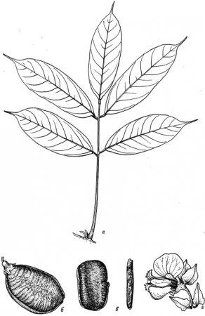 Триба Diplotropideae