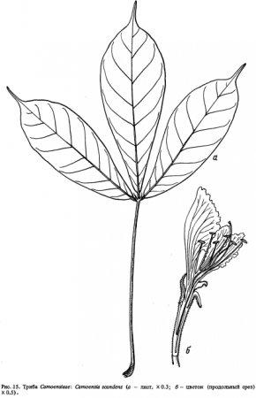 Триба Camoensieae