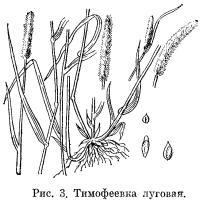 Тимофеевка луговая