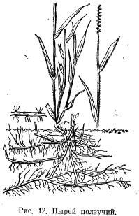 Лисохвост луговой и пырей ползучий