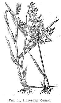 Полевица белая и волоснец сибирский