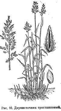 Луговик дернистый, двукисточник тростниковый и бекманния обыкновенная