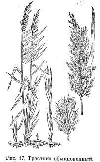 Тростник обыкновенный, манник водяной и арктофила рыжеватая