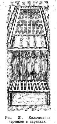 Подготовка черенков для выращивания корнесобственных саженцев (часть 2)