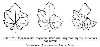 Ботаническое описание сортов по <a href=