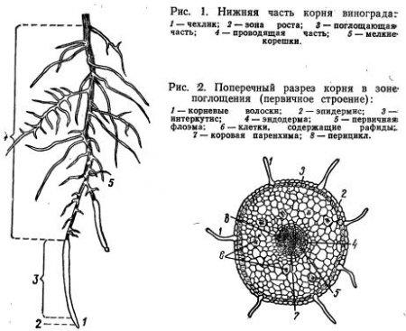 Корень и корневая система (часть 2)