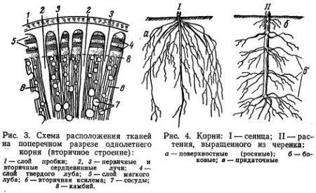 Корень и корневая система (часть 3)