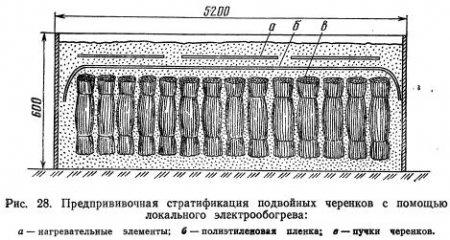 Прививка одревесневшими черенками (часть 3)