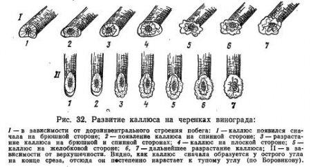 Анатомия и физиология срастания компонентов прививки