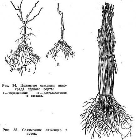 Выкопка саженцев из школки, их сортировка и хранение (часть 1)