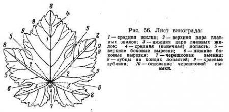 Ботаническое описание сортов по ампелографическим показателям (часть 1)