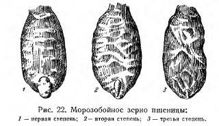 Вес 1000 семян (часть 6)