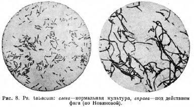 Бактериофагия при бактериальных болезнях растений